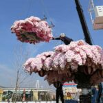 Quest'albero di ciliegio è composto da quasi 1 milione di mattoncini Lego (FOTO)