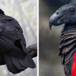 I pappagalli di Dracula sono tra i più belli e rari del pianeta – GUARDA